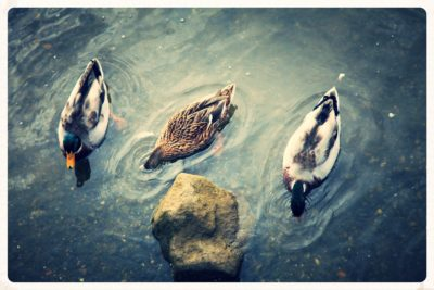 ducks-in-the-water