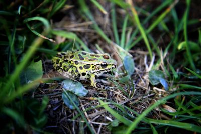 frog-of-the-forest