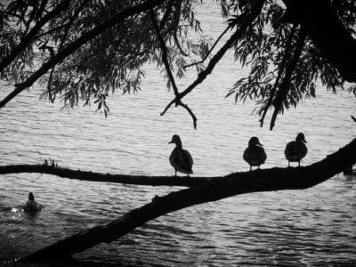 the-ducks-of-glimmerglass