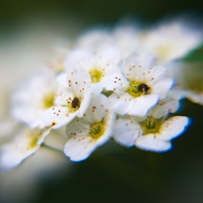 tiny-white-flowers
